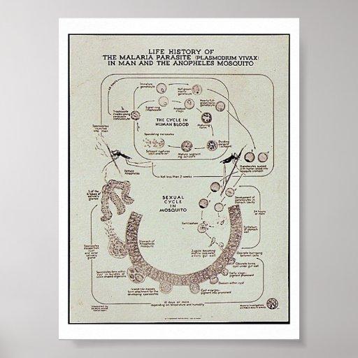 Life History Of The Malaria Parasite Plasmodiume V Poster