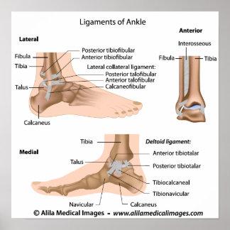 Ligamentos del tobillo, etiquetados dibujo poster