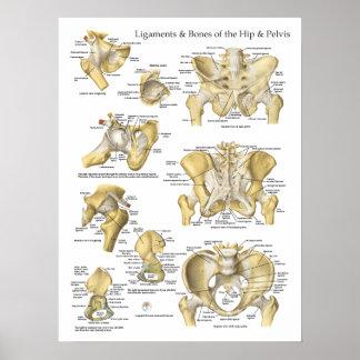 Ligamentos y huesos de la anatomía de la pelvis de posters