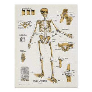 Ligaments and Joints Anatomy Poster