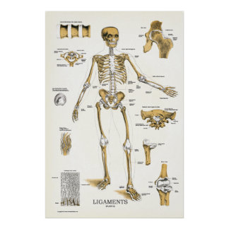 Ligaments and Joints Anatomy Poster 24 X 36