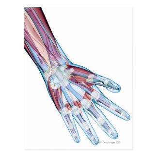 Ligaments in the Hand Postcard