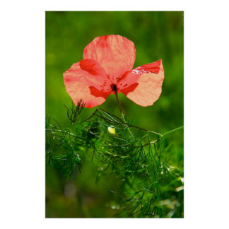 light and fresh picture of a poppy poster
