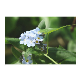 Light Blue Forget-me-newts Canvas Print