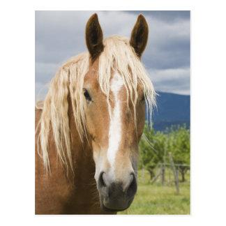 Light Brown Horse Postcards