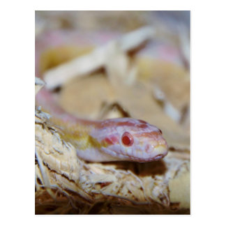 Light Colored Corn Snake Postcard