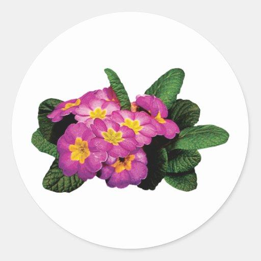 Light Magenta Primroses Classic Round Sticker