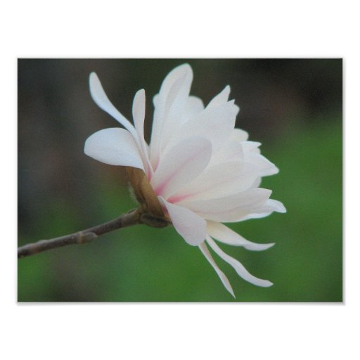 Light  Magnolia Centennial Bloom Poster