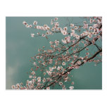 Light pink cherry blossoms on turquois background postcard