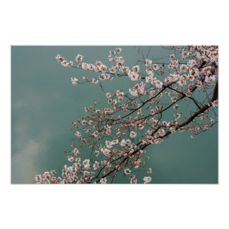 Light pink cherry blossoms on turquois background poster