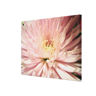 light pink chrysanthemum flower canvas print