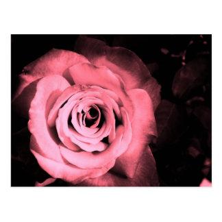 Light Pink - Red Rose Postcard