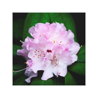 Light Pink Rhododendron Canvas Print