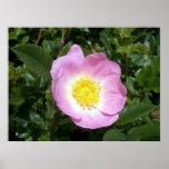 Light Pink Wild Rose 1 Poster