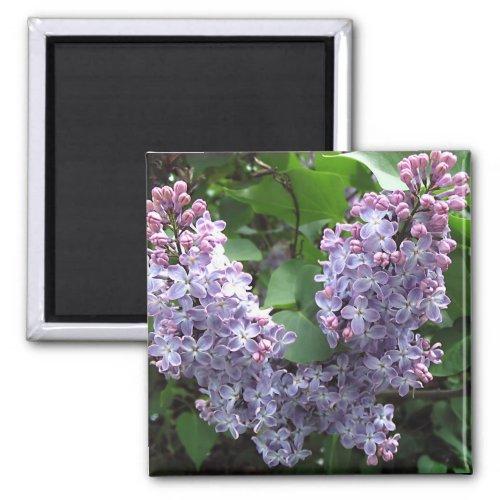 Light purple lilacs Photo Magnet