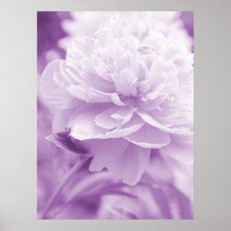Light Purple Peony Poster