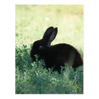 Lil Black Bunny Postcard