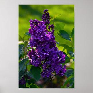 Lila francesa púrpura póster