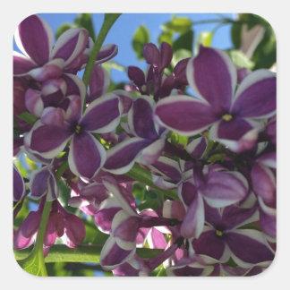 Lila púrpura franjada blanco pegatina cuadrada
