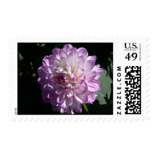 Lilac and white dahlia photo postage stamps