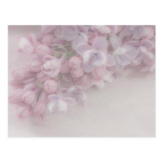 Lilac Blossom Postcard