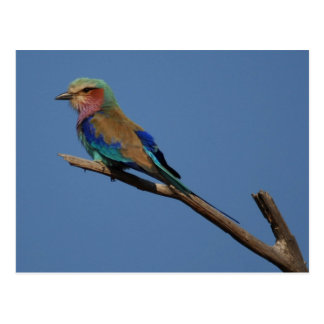 Lilac-Breasted Roller Bird Postcard