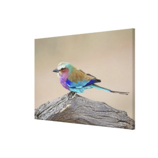 Lilac-breasted roller (Coracias caudata) Canvas Print