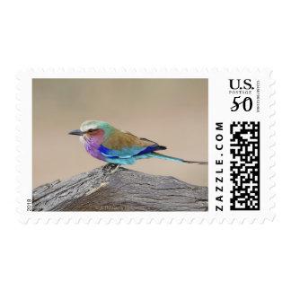 Lilac-breasted roller (Coracias caudata) Postage