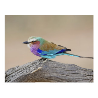 Lilac-breasted roller (Coracias caudata) Postcard