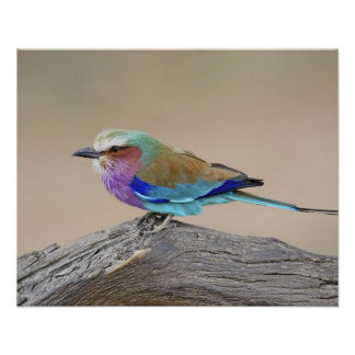 Lilac-breasted roller (Coracias caudata) Poster