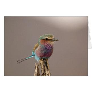 Lilac breasted Roller, Coracias caudata, Samburu Card