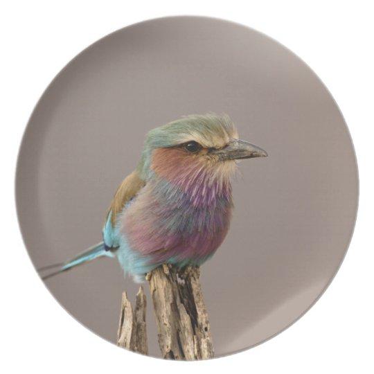 Lilac breasted Roller, Coracias caudata, Samburu Dinner Plate