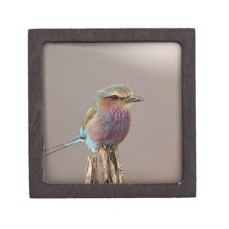 Lilac breasted Roller, Coracias caudata, Samburu Gift Box