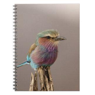 Lilac breasted Roller, Coracias caudata, Samburu Notebook