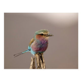Lilac breasted Roller, Coracias caudata, Samburu Postcard