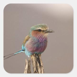 Lilac breasted Roller, Coracias caudata, Samburu Sticker