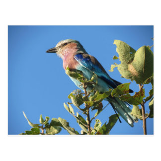 Lilac-breasted roller postcard