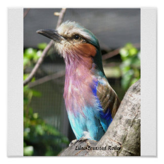 Lilac Breasted Roller Poster