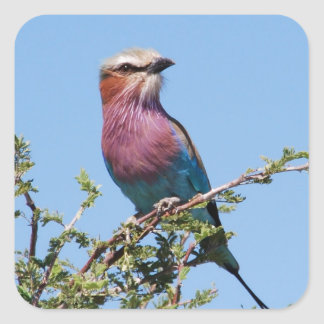 Lilac-breasted Roller Square Stickers