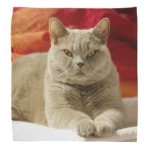Lilac british shorthair cat bandana