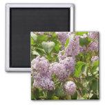 Lilac Bush Beautiful Purple Spring Flowers 2 Inch Square Magnet