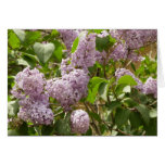 Lilac Bush Beautiful Purple Spring Flowers Card