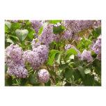 Lilac Bush Beautiful Purple Spring Flowers Photo Print