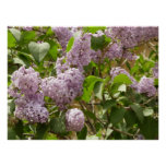 Lilac Bush Beautiful Purple Spring Flowers Poster
