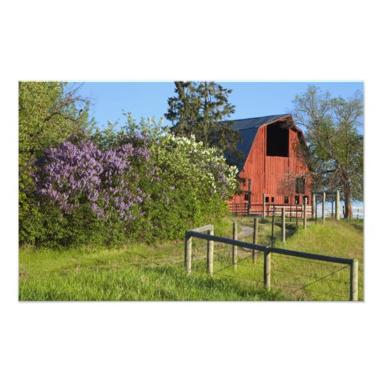 Lilac bushes in bloom and magpies in the trees photo print