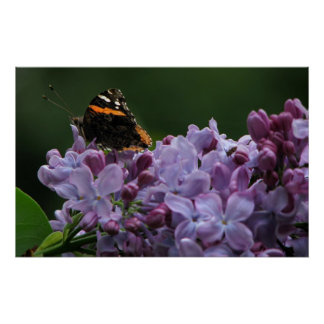 Lilac Butterfly (close) Poster