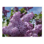 Lilac cluster postcard