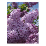 Lilac cluster postcards