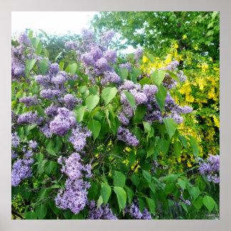 Lilac Flowers Fence Gotland Sweden Poster