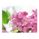 Lilac Flowers In The Morning Sunlight Postcards